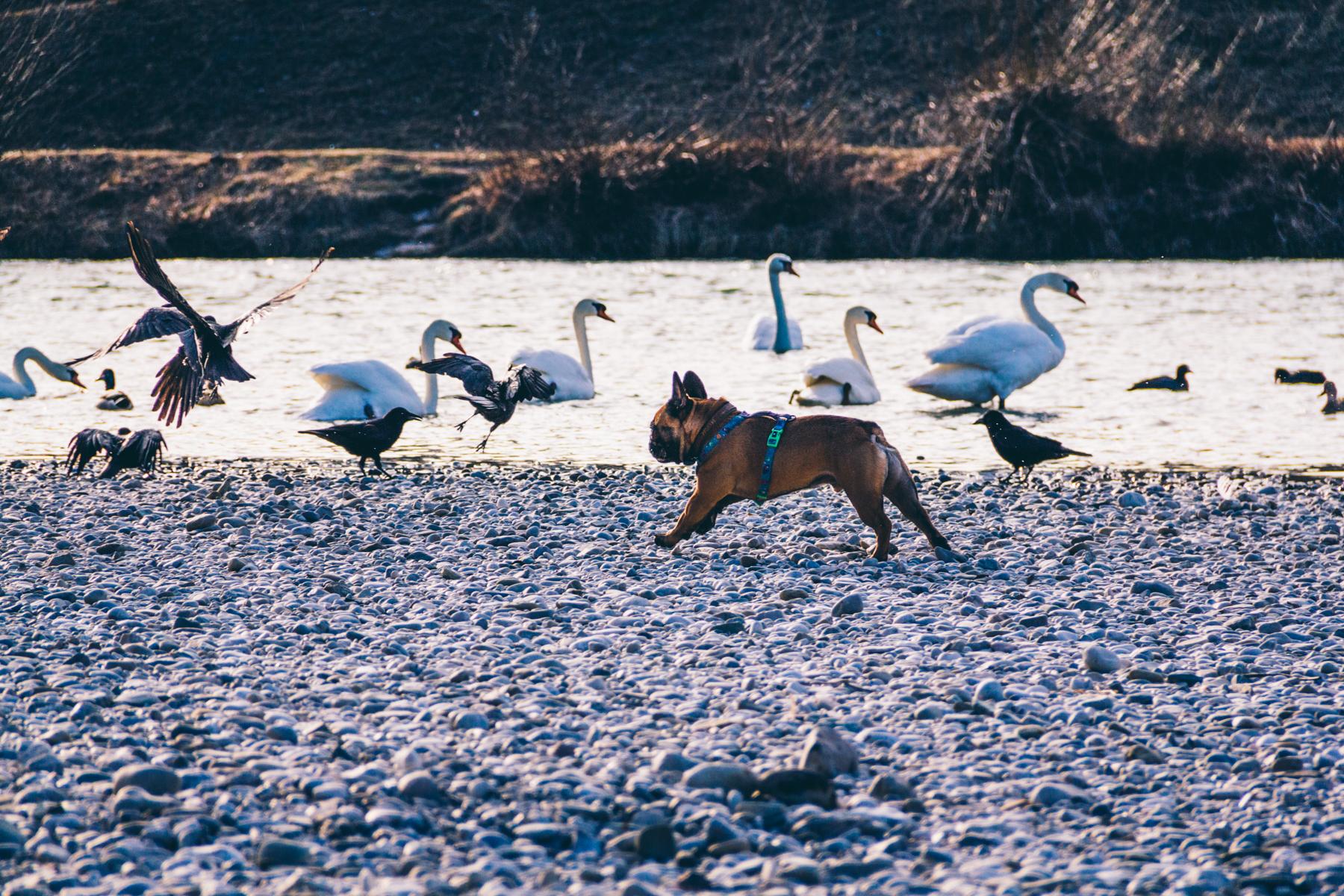 Dobby sucht regelmäßig neue Freunde unter den gefiederten Isarbewohnern.  – ©wunderland media GmbH